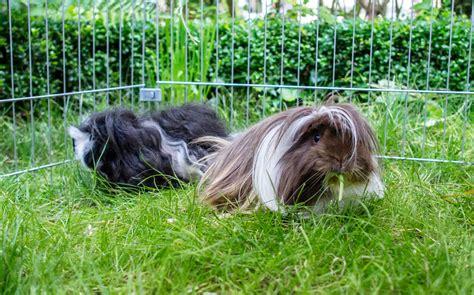 meerschweinchen im garten haustiere darf der garten als tierfriedhof dienen
