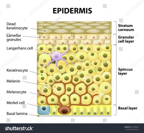 diagram of skin cell cell epidermis layers epidermis structure human stock