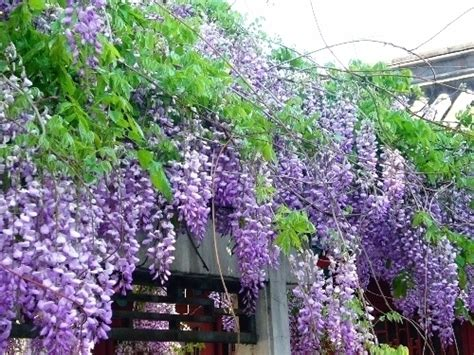 coltivare glicine in vaso glicine in vaso potature giardino glicine in vaso potature