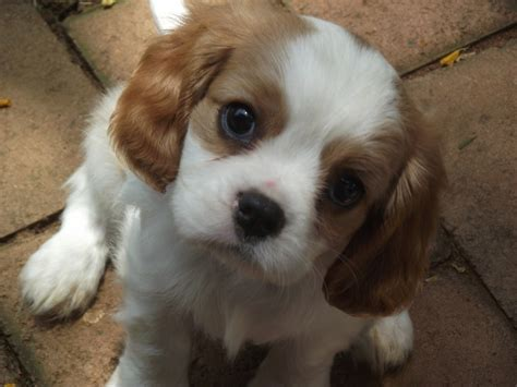 Do Cavapoos Shed by Dogs With Children And Don T Shed Yahoo Image