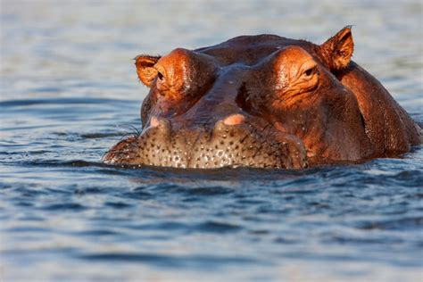 angry hippo chases tour boat don t make a hippo angry you wouldn t like it when it s