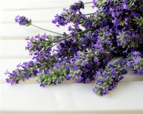 lavanda coltivazione in vaso coltivazione lavanda aromatiche come coltivare la lavanda