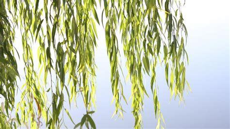 salice piangente in vaso salice piangente gli alberi coltivazione salice