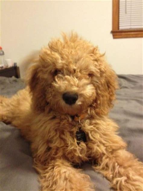 goldendoodle puppy phases pet names golden doodles weddingbee
