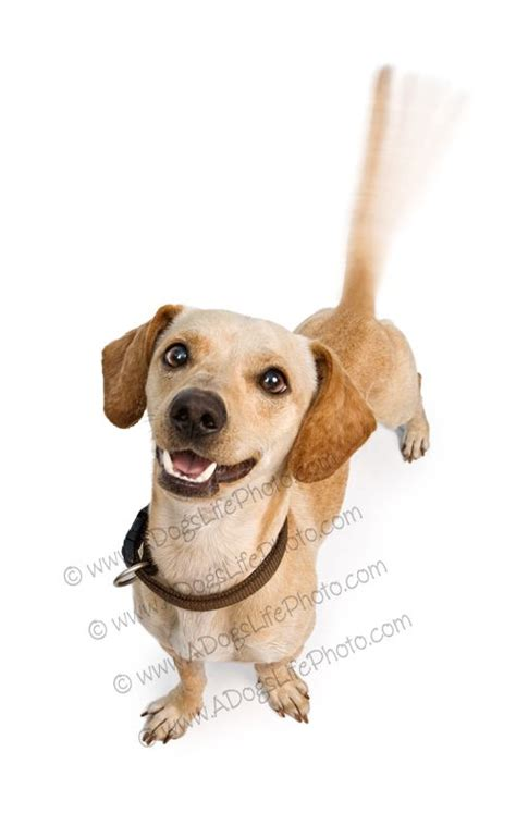 chiweenie dogs chiweenie dogs dogs dogs