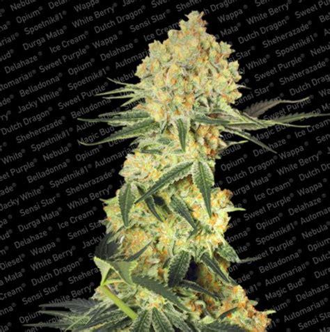 autoflowering beleuchtung auto wappa paradise seeds autoflowering samen 1000seeds