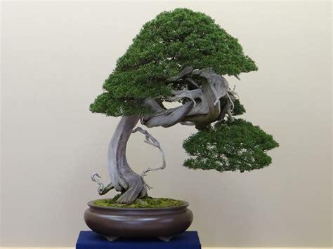 how do you bonsai christmas tree how to identify bonsai trees bonsai tree gardener