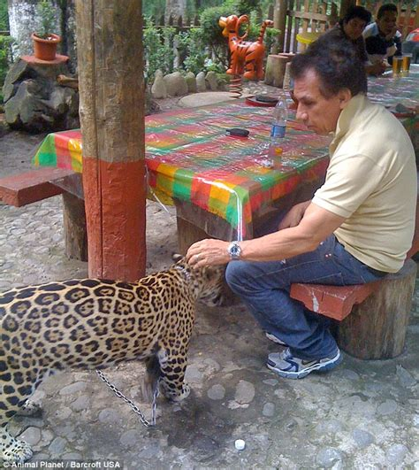 Pet Jaguar Mexican Producer Rafael Villafane Keeps A Jaguar As