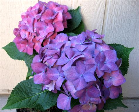 flowers images purple hydrangea hd wallpaper and