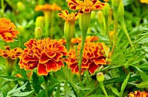 fiori da piantare in giardino cosa piantare a marzo fiori pollicegreen