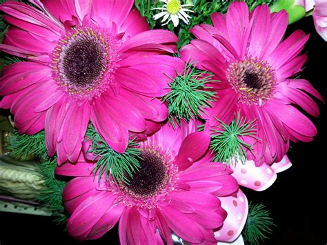 pink sunflowers images search pink sunflowers images search
