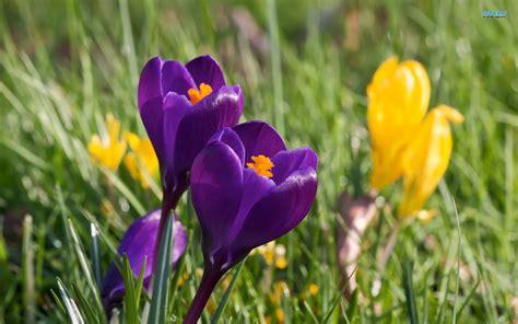 50 most beautiful crocus flower collection golfian com