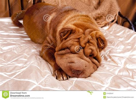 sharpay the sharpay on the bed royalty free stock photography image 21423547