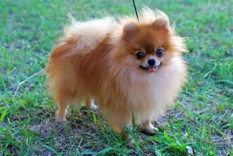tipos de perros pugs razas de perros para pisos