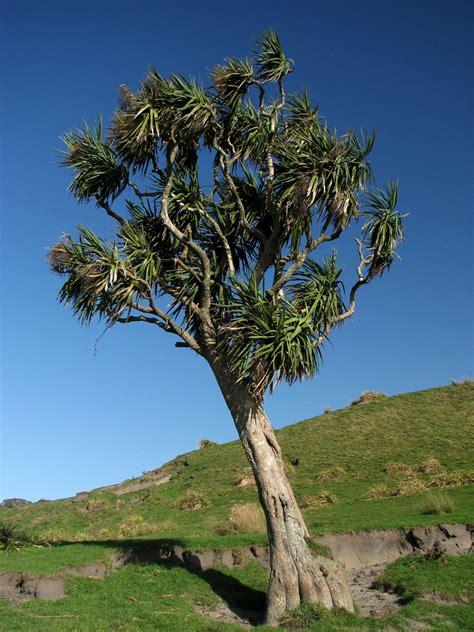 cordyline australis wikipedia