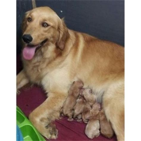 golden retriever louisiana puppies in louisiana golden retriever breeder in amite louisiana listing id 22008