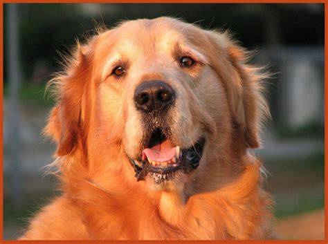 medium sized golden retriever the golden retriever is a medium sized breed of they were breeds picture