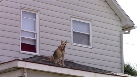 dog on a roof dog spotted on roof of home in new castle pittsburgh