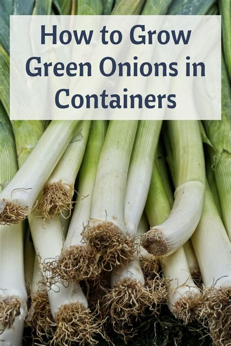 grow green onions  containers start growing
