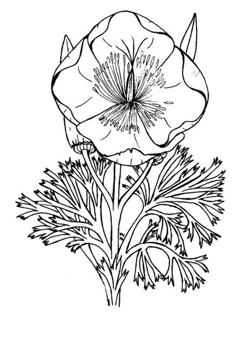 blooming california poppy coloring page kids play color