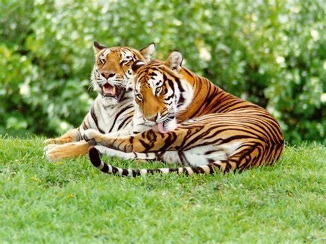 the tiger who would tiger wallpaper tigers wallpaper 9981517 fanpop