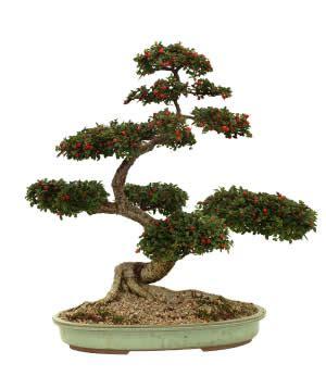 Serve It Diameter 26 3 Tinggi 15cm membuat seni bonsai mastituk