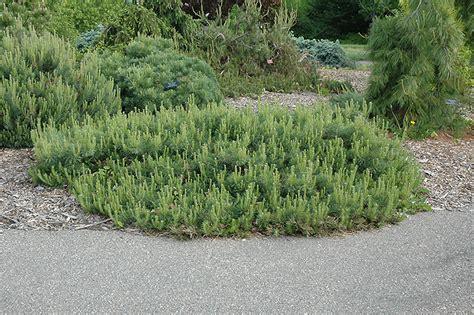 hillside creeper scotch pine pinus sylvestris hillside