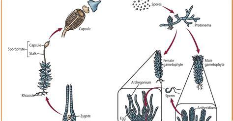 Lumut H metagenesis lumut dan paku