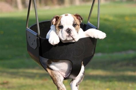 bulldog in a swing 7 ways to actually give thanks at thanksgiving mormon hub