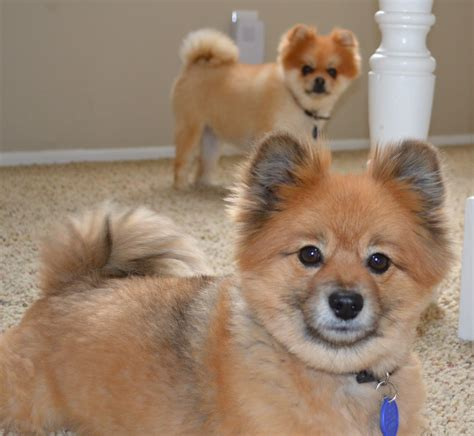 pomeranian rescue indiana pomeranian pictures and rescue breeds picture