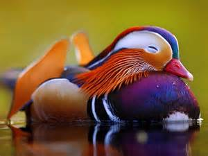 colorful ducks the cutest animals on earth business insider