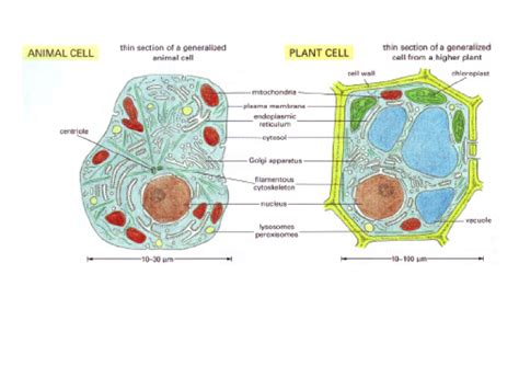 Contrast with animal cells plant cells slide 3 typically have a cell