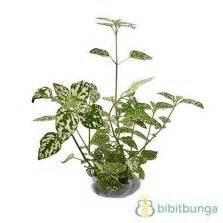 tanaman daun ruskus tanaman bakau