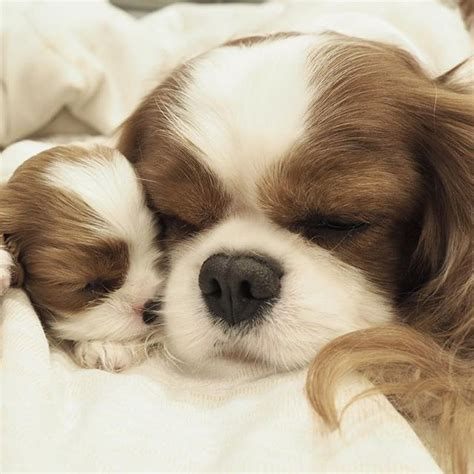 king cavalier spaniel puppy best 25 cavalier king charles ideas on