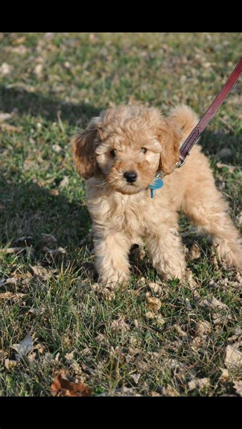 goldendoodle puppy jumping 1000 ideas about medium goldendoodle on