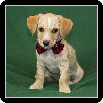 dachshund puppies san diego san diego ca dachshund maltese mix meet comet a puppy for adoption