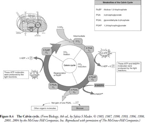 photosynthesis diagrams worksheet photosynthesis diagram worksheet answers worksheets for