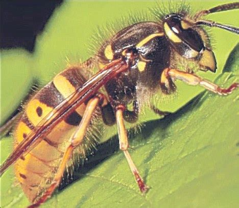 casualty stung by 1,100 wasp attacks (not to mention 75