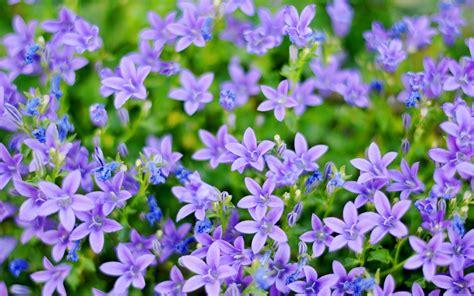 wallpaper small flower small blue flowers wallpaper 756102