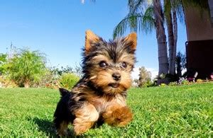 teacup yorkies for sale in san diego yorkie puppies for sale in california yorkie pups for sale san diego yorkies for