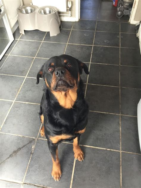 free rottweilers to home rottweiler to experienced home crawley west sussex pets4homes
