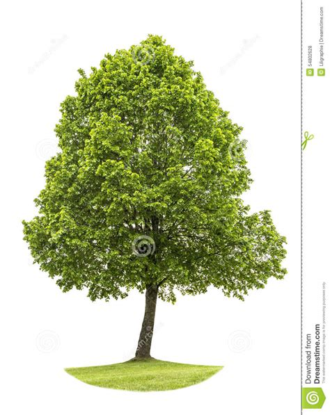 white or green tree green tree isolated on white background nature object