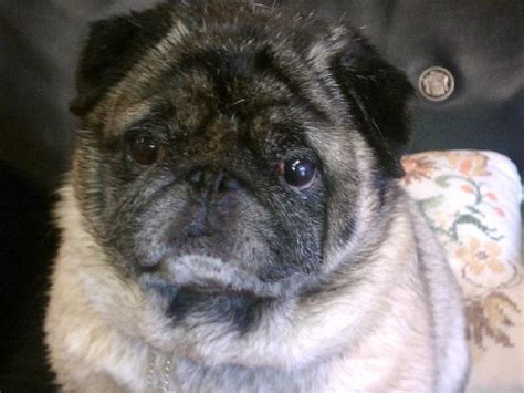buffalo adoption buffalo pug and small breed rescue breeds picture
