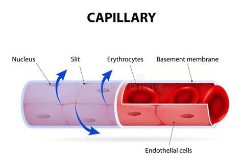 vaso sanguigno capillary vaso sanguigno identificato illustrazione