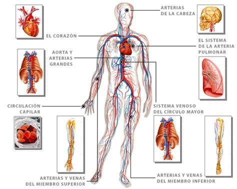 dibujo del aparato humano dibujo del cuerpo humano web del peque