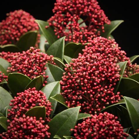 skimmia japonica rubinetta skimmia japonica rubinetta misc flowers flowers
