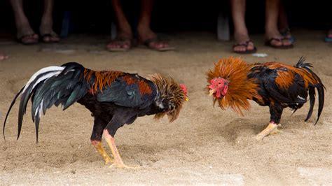 Peleas De Gallos Mexicanos | las peleas de gallos en m 233 xico