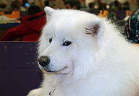 how much do samoyed puppies cost how much do samoyed puppies cost howmuchisit org