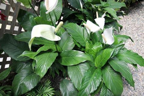 piante da appartamento con fiori piante da appartamento con fiori piante appartamento