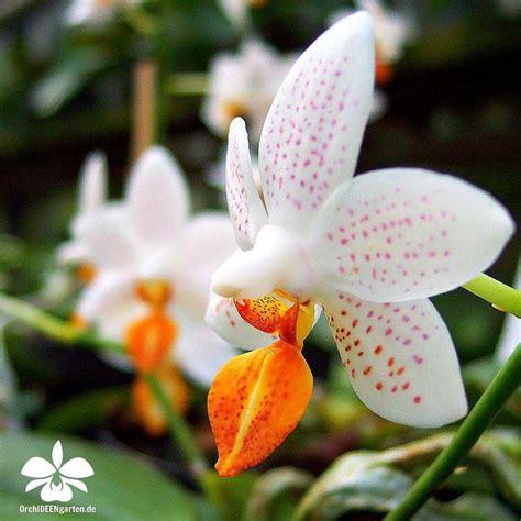 orchidea in vaso cura 17 migliori coltivare orchidee su orchidee
